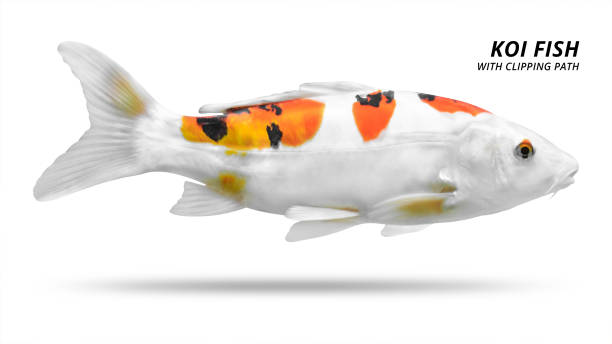 Koi fish with white and orange scales